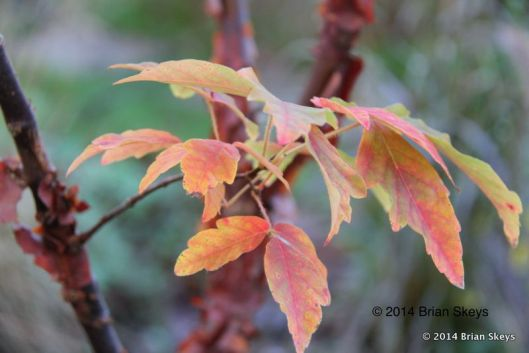 Acer griseum.