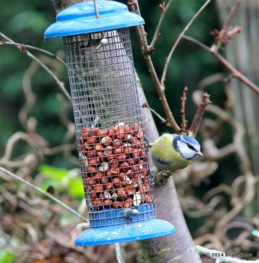 B.Tit on nut feeder