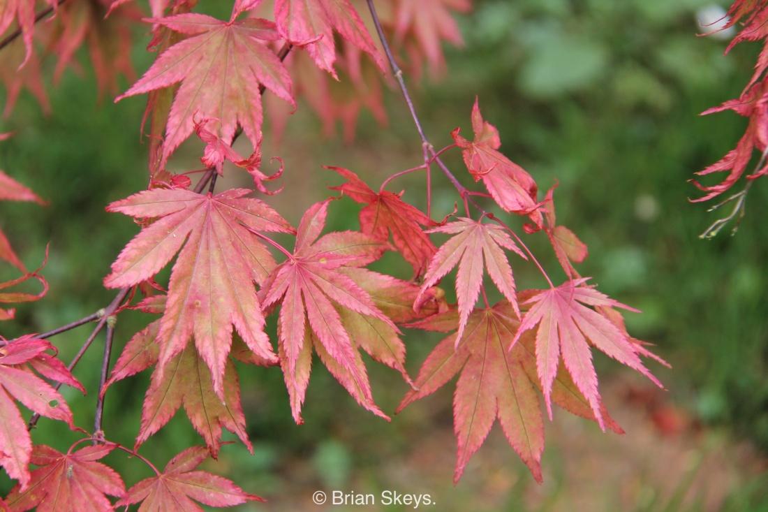 Acer 'Westonbirt Red'