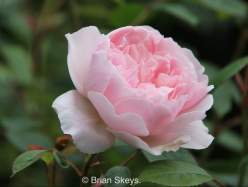 Rose Generous Gardener.
