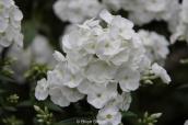Phlox paniculata ' White Admiral '