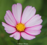 Cosmos 'Candy Stripe'.
