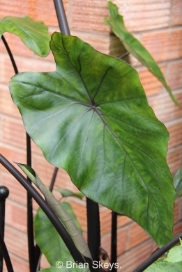 Colocasia 'Black Dragon'