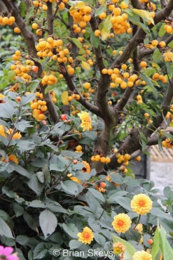 Malus 'Golden Hornet'.