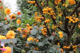 Malus 'Golden Hornet' and Dahlia 'David Howard'.
