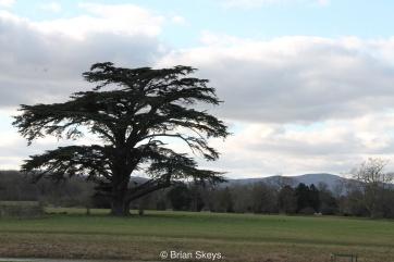 Cedar of Lebanon.