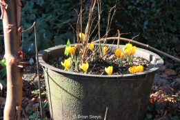 Crocus with a Fuchsia in the old cast iron boiler.