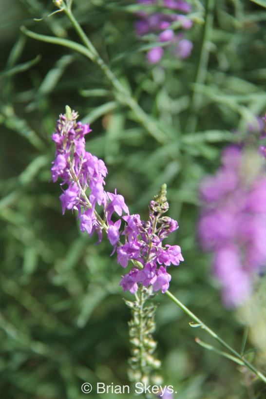 Linaria purpurea.